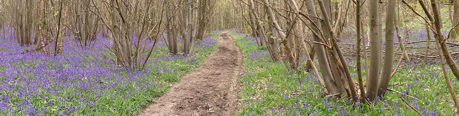 Bluebells in chestnut coppice