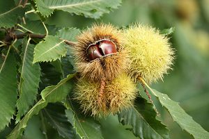Sweet chestnut fruits on the tree