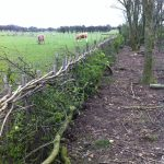 Traditional hedgelaying